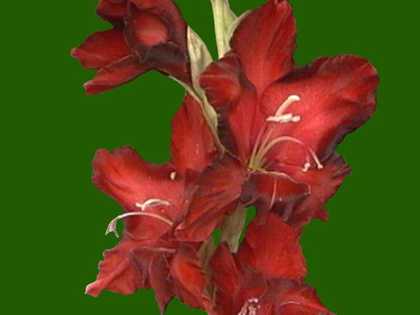 Два Кольори - Купить цветы Посадочный материал в